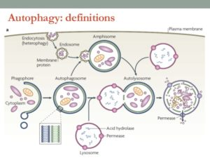 Autophagy Definitions